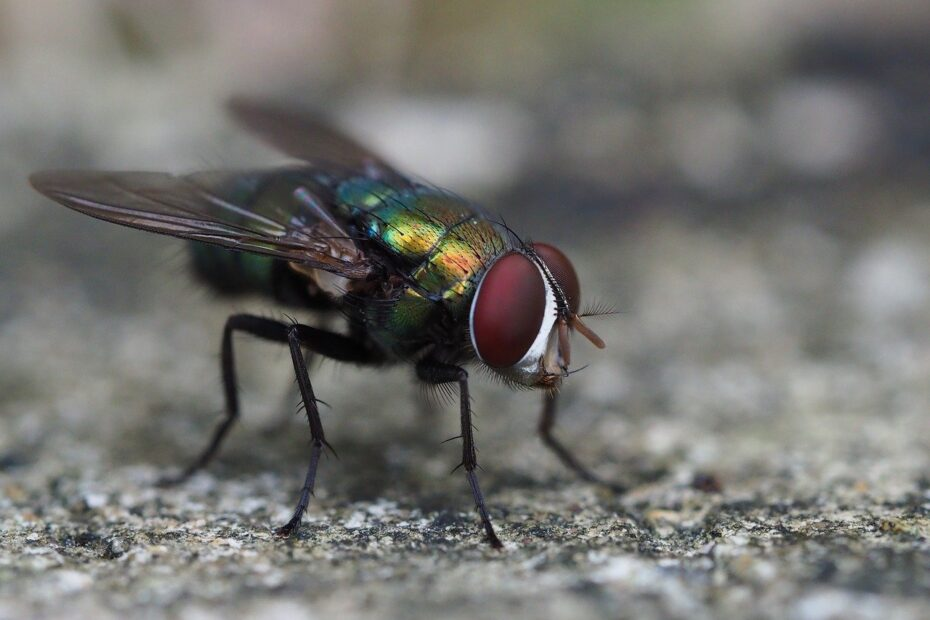 close-up of nasty blowfly