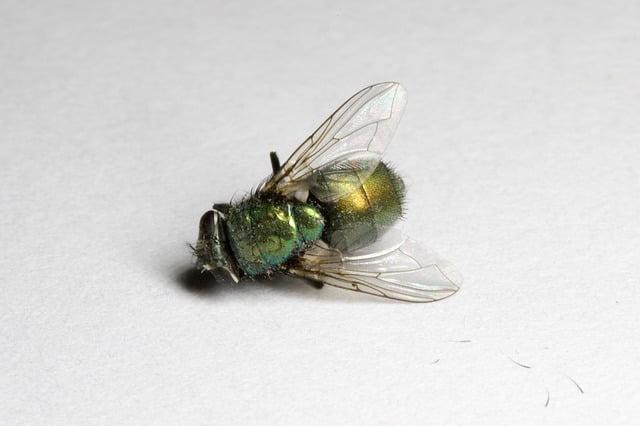 dead blow fly